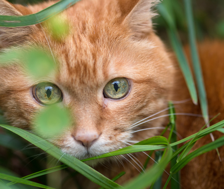 sneaking: Red cat sneaking through the grass. Stock Photo