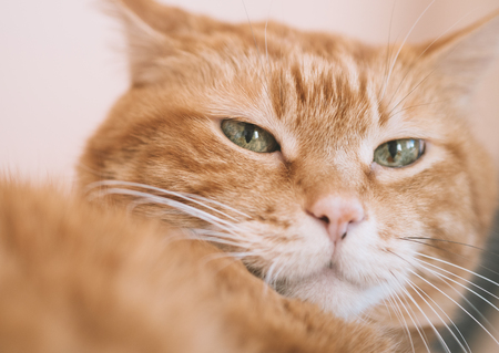 Lovely red cat. Focus on eyes. Color toned. Stock Photo