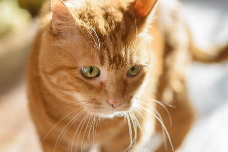 Lovely red cat. Soft focus with shallow depth of field.