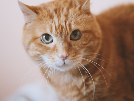 Lovely red cat. Soft focus. Color toned.