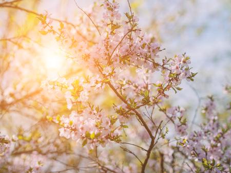 Cherry blossoms. Selective focus. Sunlight effect.
