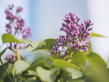 Close-up lilac flowers with the leaves. Selective focus with shallow depth of field. Stock Photo