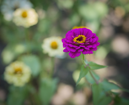 Flower of Zinnia in the garden. Selective focus with shallow depth of field.