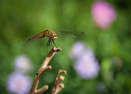 Dragonfly on a branch. Macro with shallow depth of field.