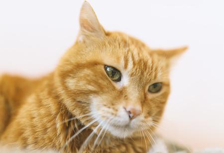 Lovely red cat. Soft focus. Stockfoto