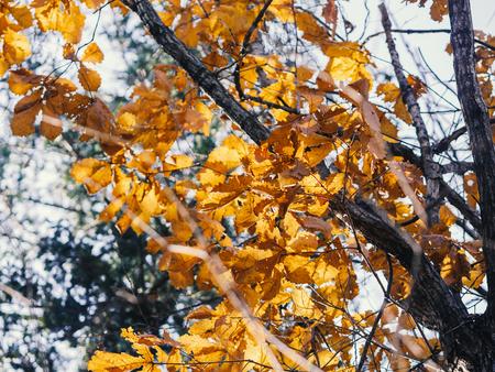 Autumn in forest - oak leaves in sunlight. Фото со стока