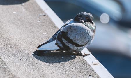Pigeon closeup with bokeh background. Фото со стока