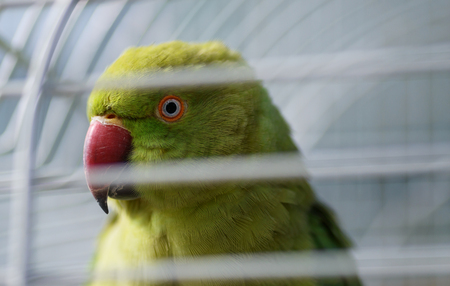 Parrot in a cage. Selective focus.