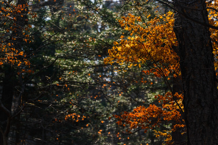 Autumn in forest - maple leaves in sunlight.