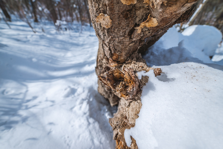 Snag in the winter forest at sunny day.