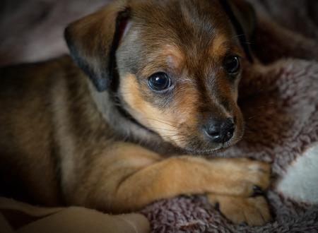 Miniature pinscher puppy - selective focus and shallow depth of field.