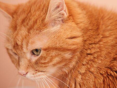 Sleepy ginger cat. Selective focus.