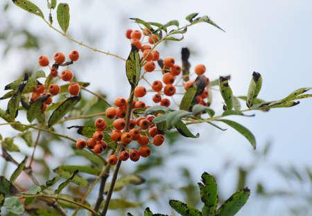 Rowan berries at the tree. Selective focus.