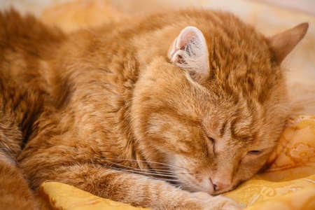 Adorable sleepy red cat. Foto de archivo