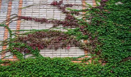 Ivy on the wall as natural background. Stock fotó