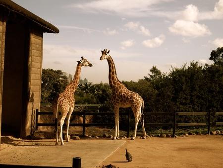 타 롱가 동물원에서 두 마리의 기린