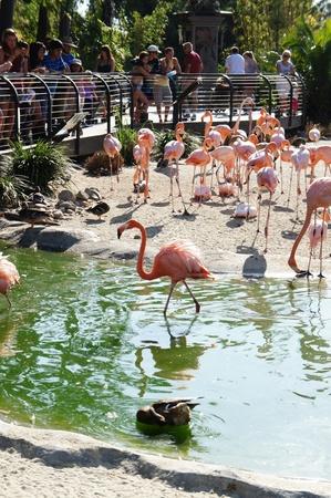 San Diego, California - August 27 2011 : Visitors  watching flamingos in San Diego Zoo Editorial