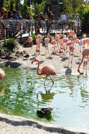 San Diego, California - August 27 2011 : Visitors  watching flamingos in San Diego Zoo Editorial