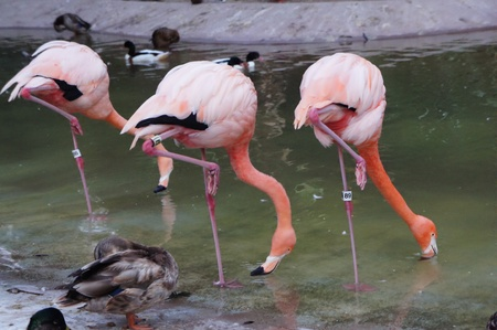 San Diego, California - August 27 2011 :  Three flamingos in San Diego Zoo  Stock Photo - 10792969
