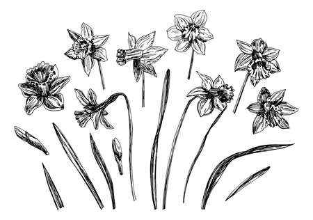 Vector illustrations of Narcissus drawn with a black line on a white background. Vector Illustration