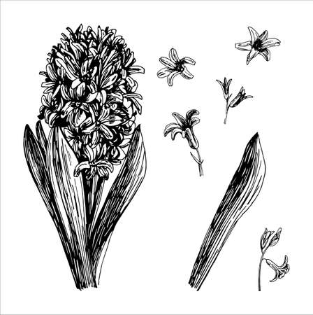 Vector illustrations of Hyacinthus drawn with a black line on a white background.