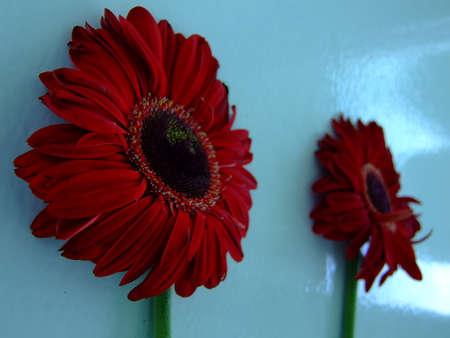 Red Daisy Фото со стока