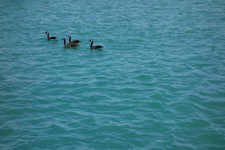 four Canadian geese swim calmly on blue wavy water