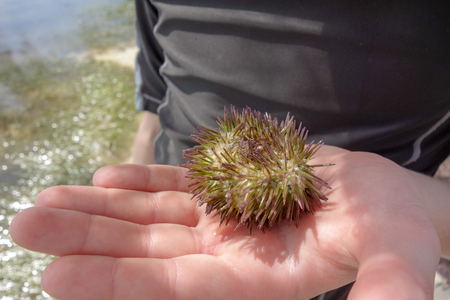 A curious child holds a sea urchin carefully in his hand near the ocean in the Cayman Islands in the Caribbean