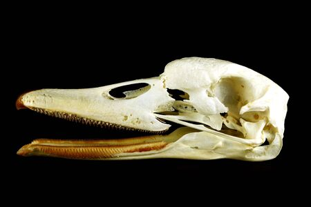 detailed view: Detailed view of the skull swans profile