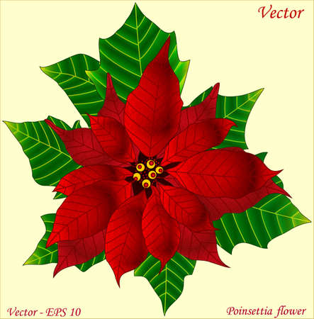 flor de pascua: Poinsettia Flor