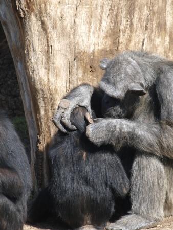 troglodytes: Chimpanzee Ape  Mother chimpanzee grooming  her baby