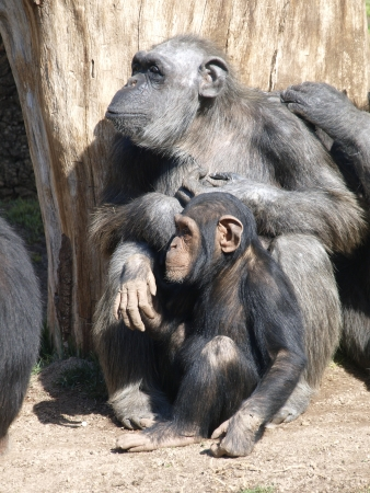 Chimpanzee  Ape  Mother chimpanzee grooming  her baby   photo