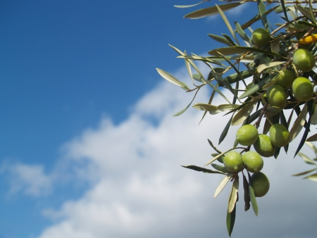 Green olives on a branch. Clear blue sky background.  photo