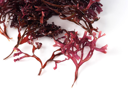 Musgo Estrellado – False Irish Moss -  Carrageen Moss  Binomial name: Mastocarpus stellatus. It is a sea vegetable or edible seaweed, ideal in preparing salads, marinades and sauces. Stock Photo
