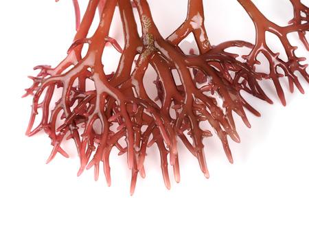 Gigartina Pistillata Algue rouge comestible de la famille Gigartina. Nom binomial: Gigartina Pistillata.