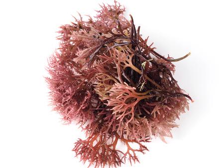 Gigartina Pistillata Algue rouge comestible de la famille Gigartina. Nom binomial: Gigartina Pistillata. Banque d'images