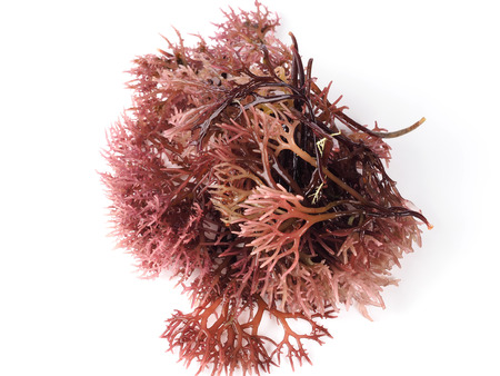 Gigartina Pistillata Eetbaar rood zeewier in de familie Gigartina. Binominale naam: Gigartina Pistillata. Stockfoto