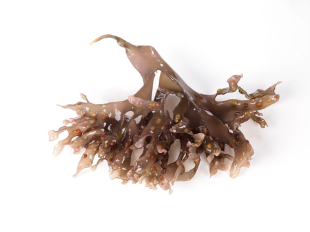 Irish Moss - Carrageen Moss – Musgo de Irlanda. Binomial name: Chondrus Crispus. It is a sea vegetable or edible red seaweed.