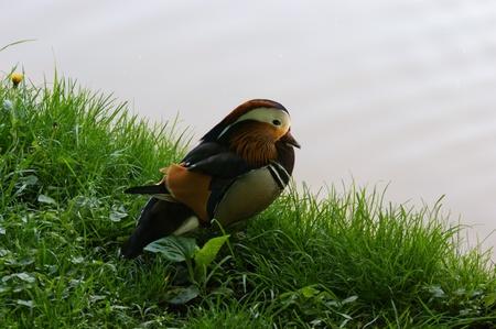 mandarina: Mandarina duck is napping on the river bank