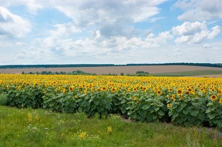 Sunflowers wait for autumn harvesting. photo
