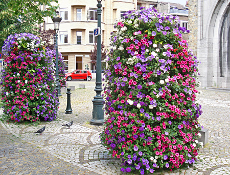 undemanding: The flowers of surfinia often decorate the streets of european cities, its undemanding  and nice looking plant, Brussels, Belgium. Stock Photo
