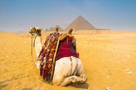 chephren: The camel from the back in Giza Necropolis, Egypt.
