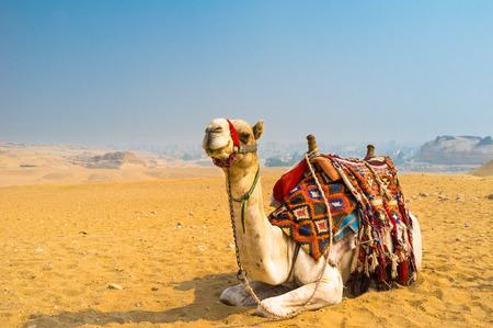 saddle camel: The camel feels great in desert, despite the heat, Giza, Egypt.