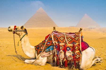 camello: El camello ser� la mejor gu�a en necr�polis de Giza, todos los d�as que lleva a cientos de turistas aqu�, Egipto.