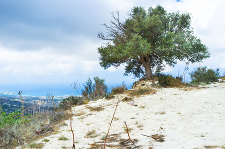 cyprus tree: The olive tree on the mountain slope, Cyprus.