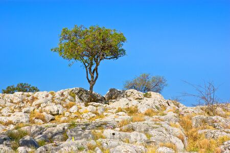 archaeological site: The lonely tree among the white rocks in the archaeological site of Mycenae, Greece. Stock Photo
