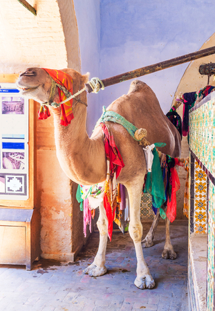 kairouan: KAIROUAN, TUNISIA - AUGUST 30, 2015: The camel next to the holy well in Bir Barouta, on August 30 in Kairouan.