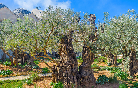 holy land: The Gethsemane Garden in Jerusalem is the notable landmark for tourists and pilgrims, visiting Holy Land, Israel.