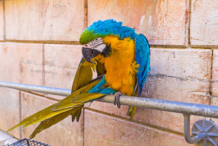via dolorosa: The beautiful Macaw parrot, sitting on the handrails, cleans feathers and attracts the tourists to visit the souvenir shop on Via Dolorosa, Jerusalem, Israel.