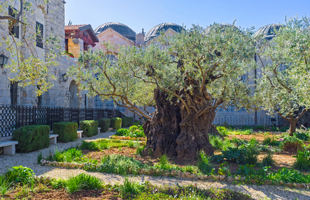 old church: The olive trees of Gethsemane Garden  are amongst the oldest known to science, Jerusalem, Israel.